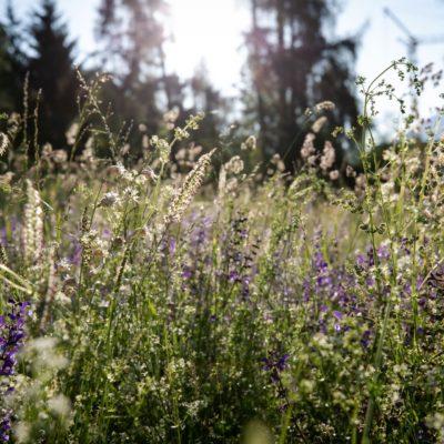 Schluein Blumenwiese